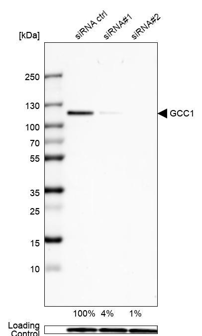 Anti-GCC1 Antibody (HPA021323) | Atlas Antibodies